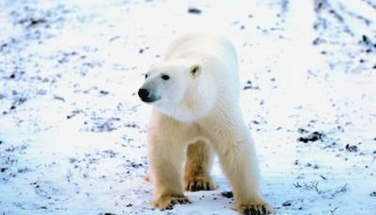 Do the Animals in the Tundra Migrate or Hibernate? | Animals - mom.me