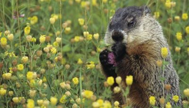 To what family of animals does a groundhog belong?