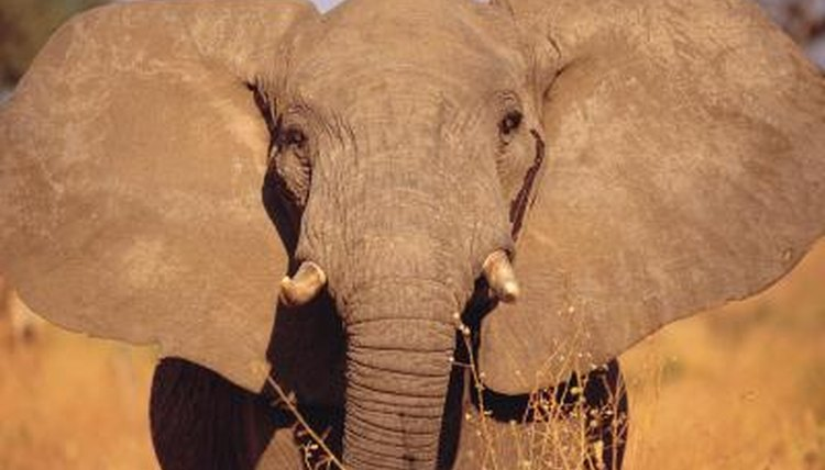 What Adaptations Help Elephants Keep Cool? | Animals - mom.me
