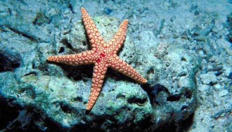 Starfish Facts on Asexual Methods of Reproduction