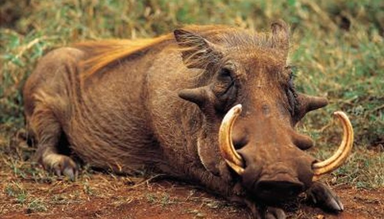 5 Warthog Facts | Animals - mom.me