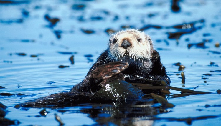 Sea otters share a mutualistic relationship with kelp in the kelp forest ecosystem.