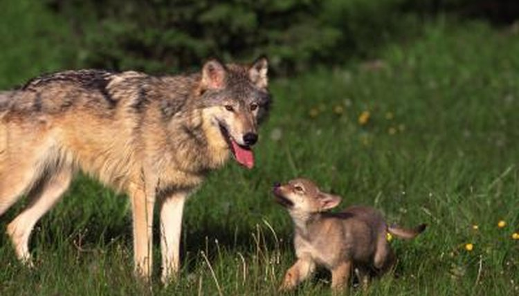 Facts About Baby Wolves Animals Mom Me