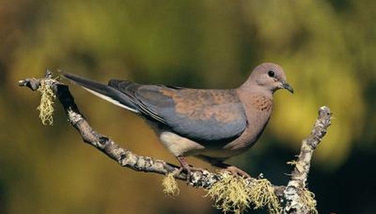 Information on pet ringneck doves animals mom stockbytestockbytegetty images voltagebd Gallery