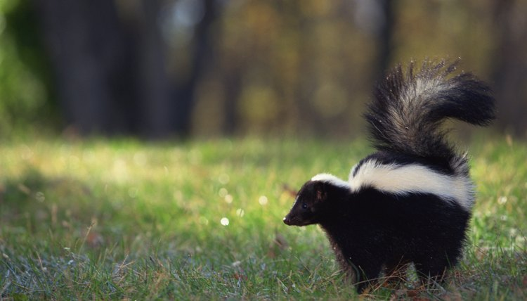 What Will Get Rid Of Skunk Smell On Dogs