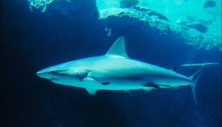Great White Shark Enemies | How Sharks Defend Themselves Animals Mom Me