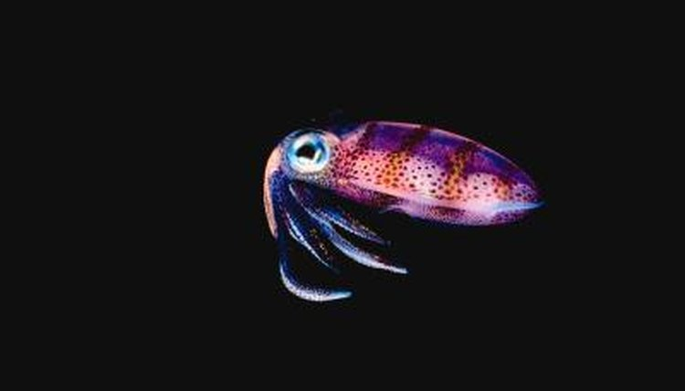 what do jewel squids eat? | animals - mom