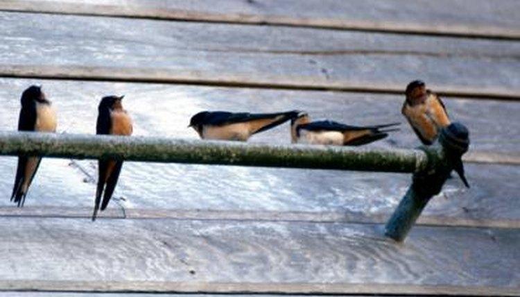 House Sparrows: información sobre los Gorriones de la Casa y el cuidado de los gorriones rescatados