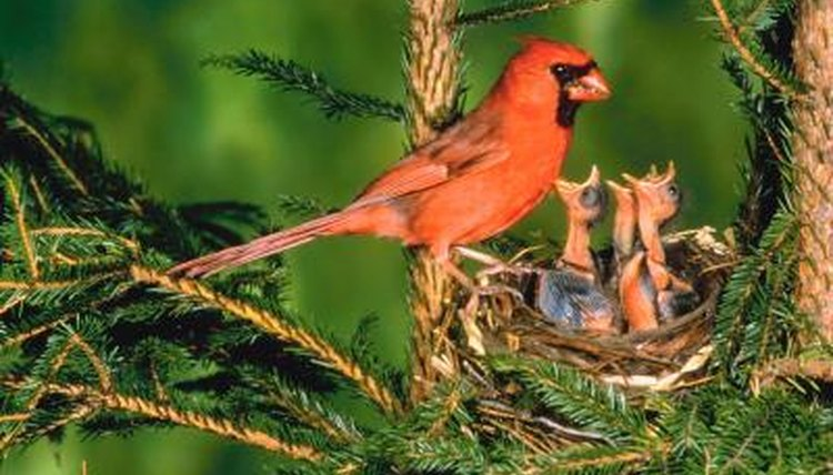 male and female cardinals photos
