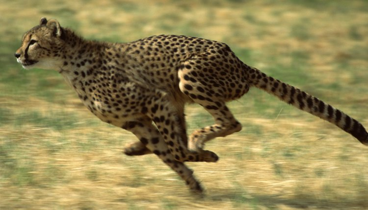 "The sentence ""Cheetahs run very quickly"" contains two consecutive adverbs."