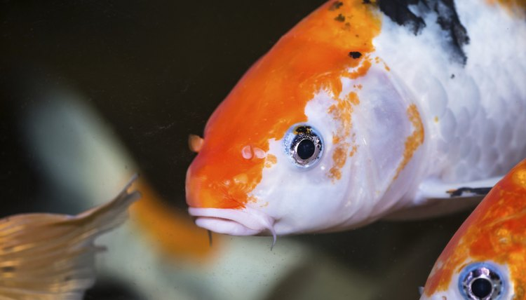 how to care for koi fish in an aquarium animals
