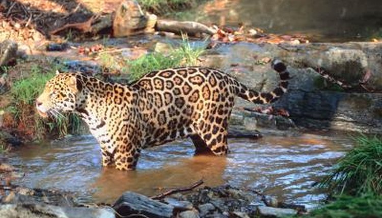 What Do Jaguars Eat >> Eating Habits of the Amazon Jaguar | Animals - mom.me