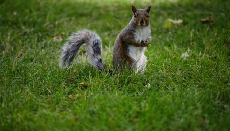 How to determine sex of baby grey squirrel