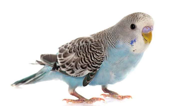 How to Know if Your Parakeet Is an Adult | Animals - mom.me