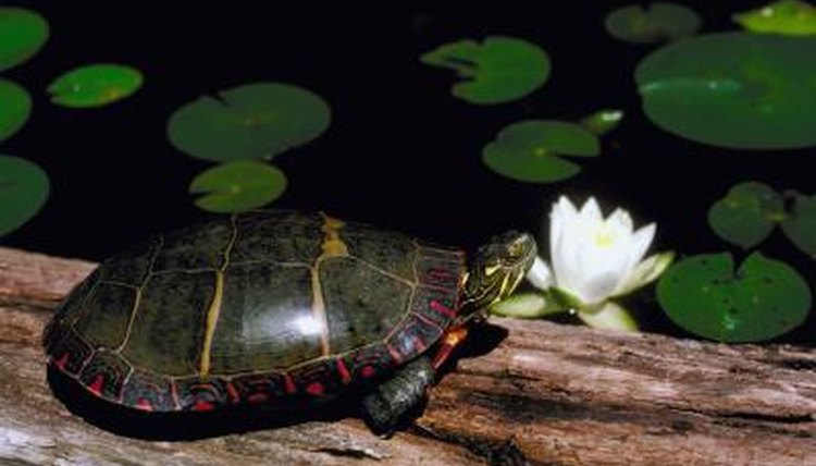 How Long Is the Painted Turtle's Life Span in Captivity? | Animals ...