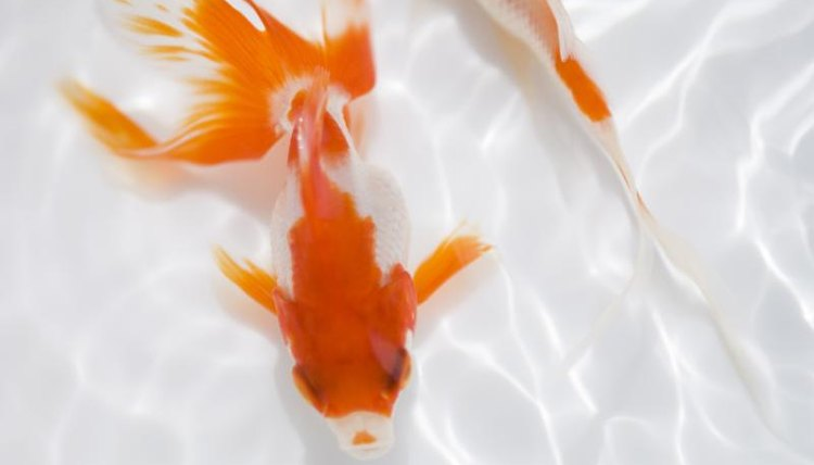 How to Tell if a Goldfish Is Getting Enough Oxygen | Animals - mom.me