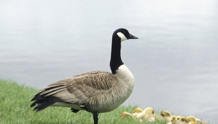 "Scholars are unsure where the phrase ""goose is cooked"" originated."