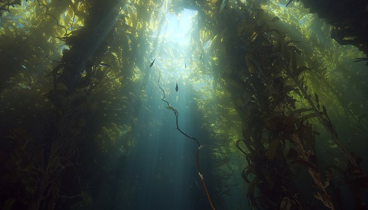 Sunlight through the California kelp forest