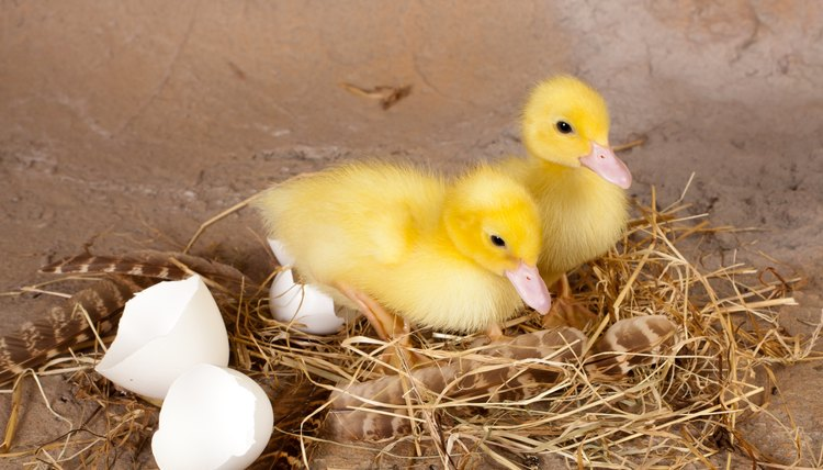 Image result for eggs and ducklings