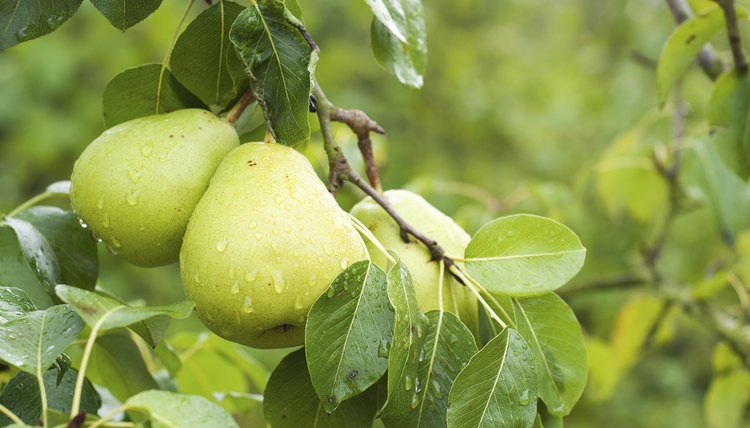 Pears growing on the branch of a tree.