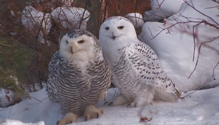 The Size of a Baby Snowy Owl | Animals - mom.me