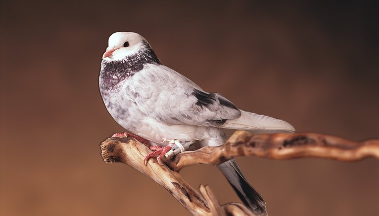 Carrier pigeons helped people communicate before the invention of the printing press.