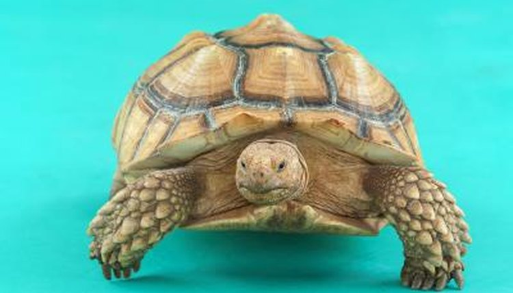 Approved Foods for Sulcata Tortoises