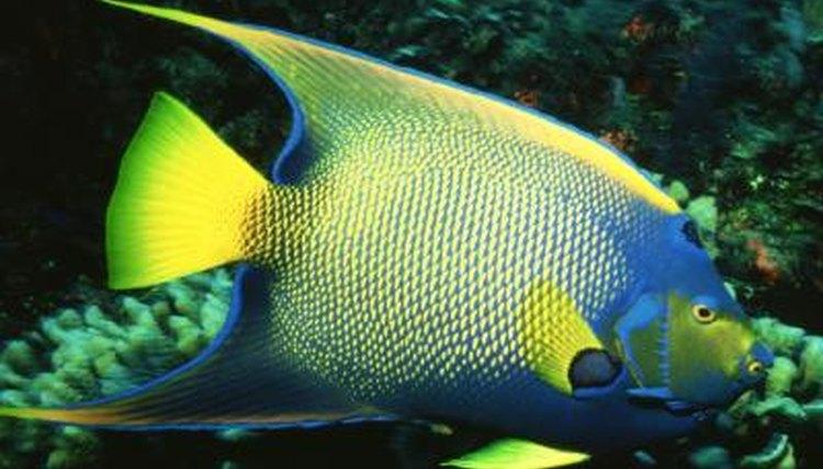 Angelfish characteristics animals for Characteristics of fish