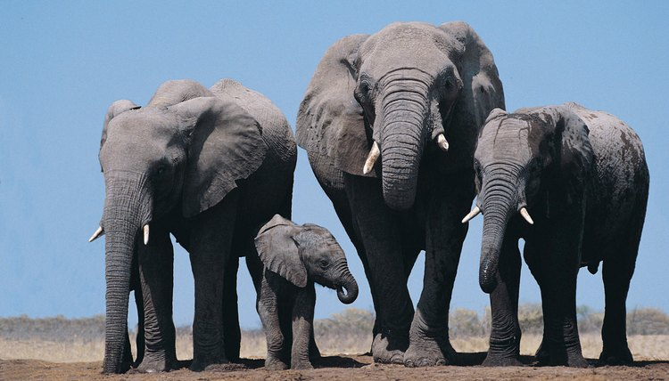 Elephants were traded  in the ancient kingdom of Kush.