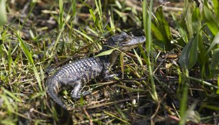 How Long Does a Mother Alligator Care for Her Young After They ...