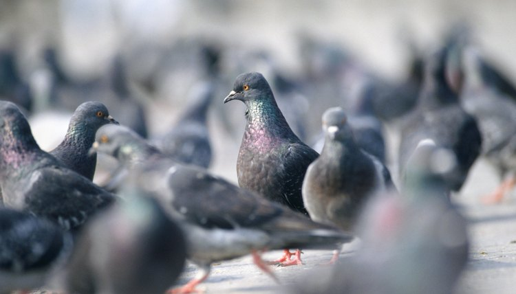 How To Tell If Pigeons Are Male Or Female Animals Mom Me
