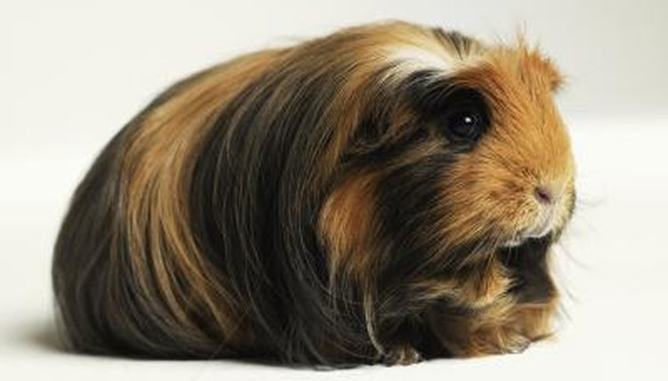 Can guinea pigs learn to walk on a leash animals mom michael blanndigital visiongetty images publicscrutiny Gallery