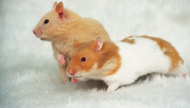 Sex with hamsters