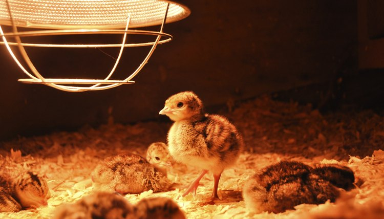 How To Make A Heat Lamp For Chicks Animals Mom Me