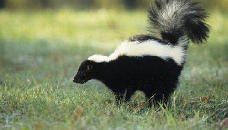 diet striped skunk