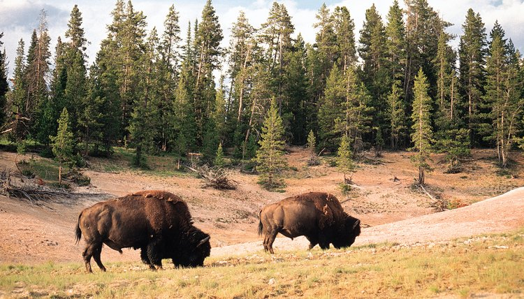 The science that studies the bison has many similarities with the science that studies the grasses on which bison feed.