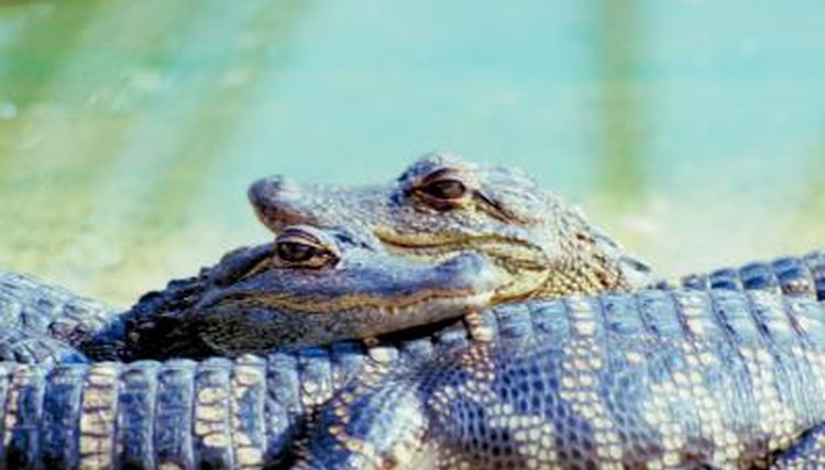 Life Stages of an Alligator | Animals - mom.me