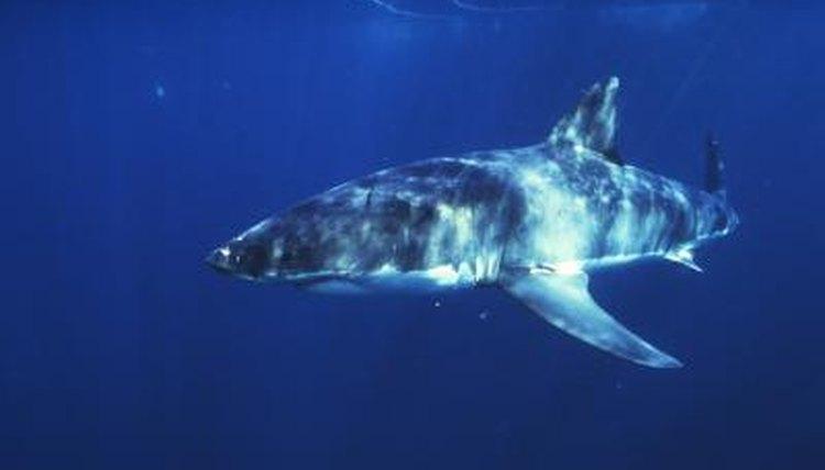 Orca vs. Great White Shark Size | Animals - mom.me