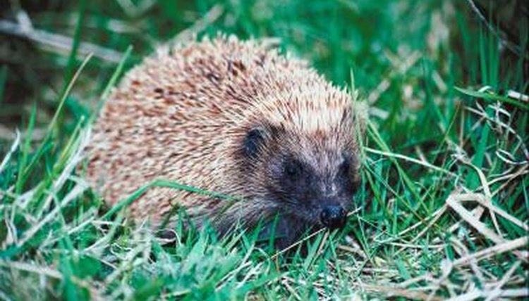 Are Hedgehogs Nocturnal Animals