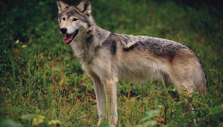 The coyote is a helpful Trickster figure in a number of Native American tribes.