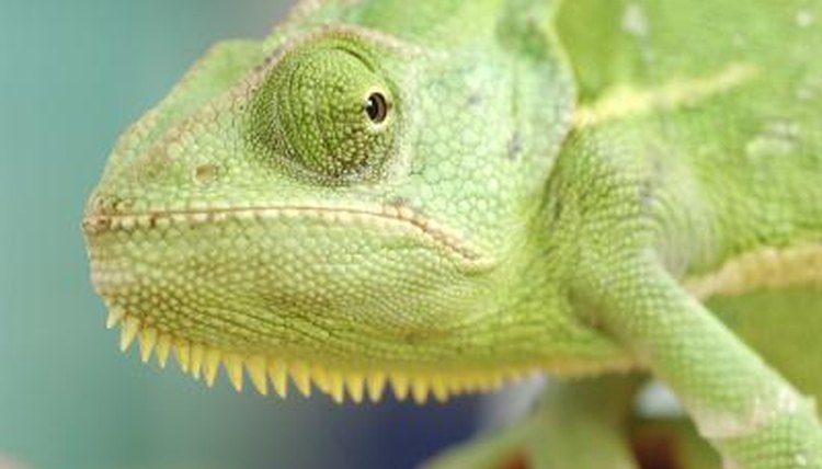 Ten Facts About Chameleons | Animals - mom.me
