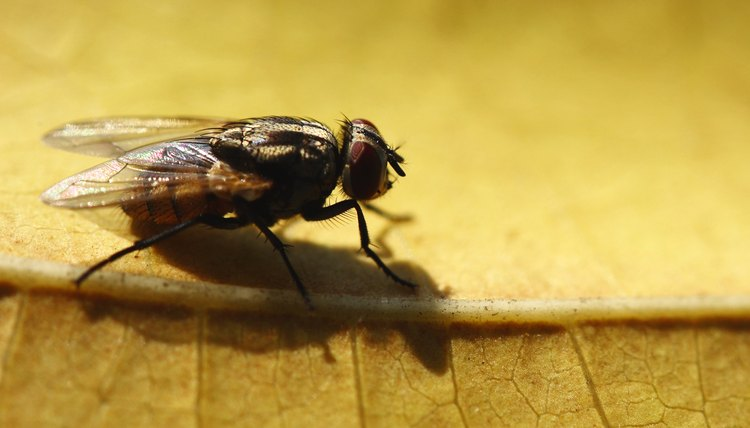 House fly Facts