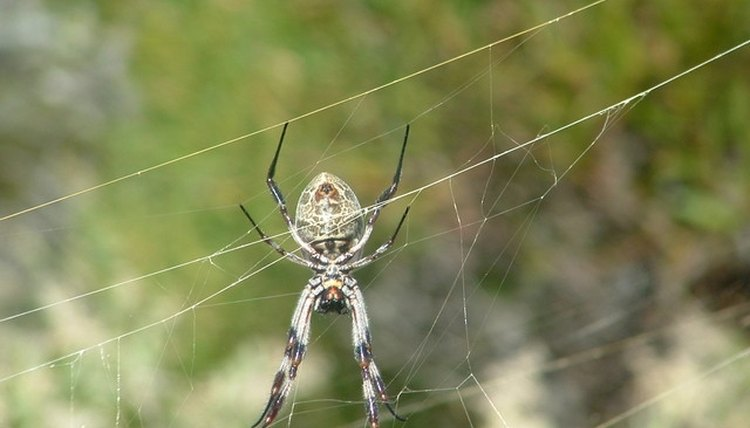 How to get rid of spiny orb spiders animals mom how to get rid of spiny orb spiders morguefilecherihill ccuart Choice Image