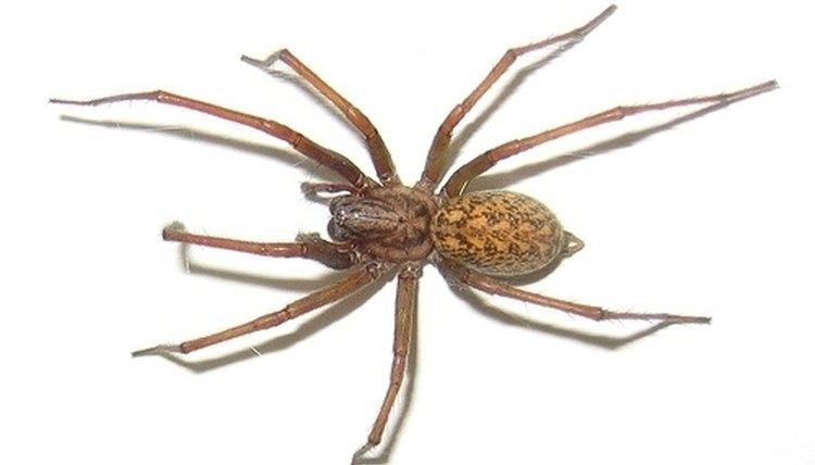 Pacific Northwest male arachnid - Eratigena atrica - BugGuide.Net