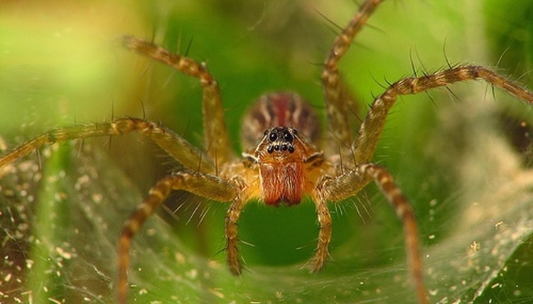Trogloraptor Marchingtoni Is a New Species of Spiders Discovered ...