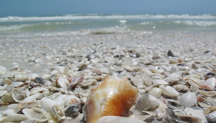 The orange shell, the foreground, a fighting conch