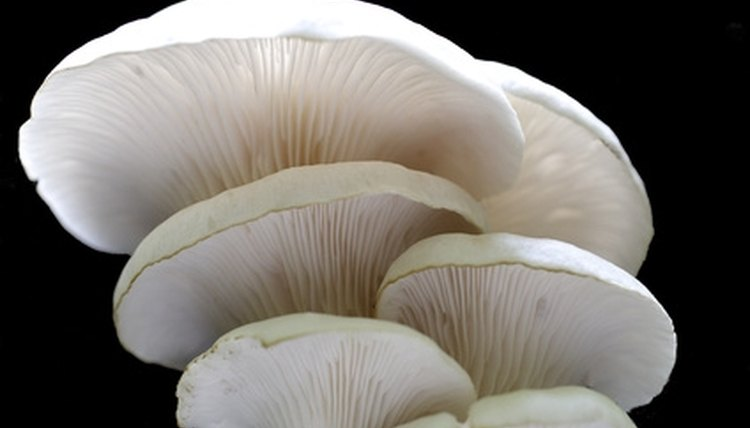 Oyster mushrooms, Michigan, the summer, fall