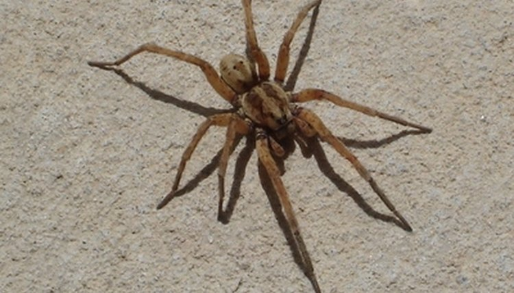 How to get rid of wolf spiders in the house sciencing for How to get rid of spiders in house