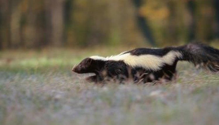 The scent of a skunk is unmistakable.