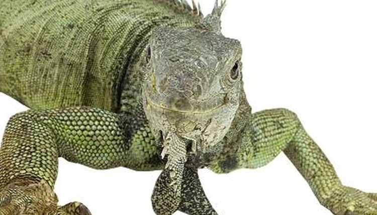 A wide variety of animals consider the iguana a meal.